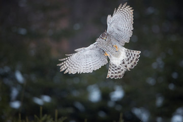 Isolated against abstract forest background, directly attacking bird of prey, Northern goshawk, Accipiter gentilis,female, raptor with outstretched wings and raised talons. Animal action scene.