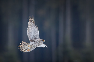 Flying bird of prey, Northern goshawk, Accipiter gentilis, isolated female, raptor with outstretched wings flying in winter against blurred spruce forest covered in snow. Czech highlands, Europe.