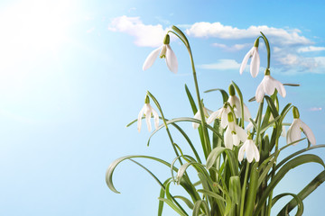 Wall Mural - First Spring Snowdrop Flowers with Water Drops on  Blue  Sky