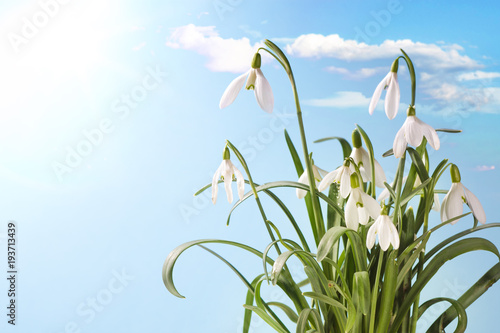 Wall mural First Spring Snowdrop Flowers with Water Drops on  Blue  Sky