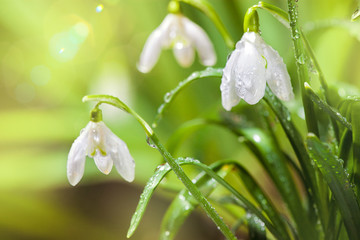 Wall Mural - First Spring Snowdrops Flowers with Water Drops in Gadern