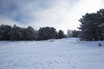Winter pine forest on snowy, hilly terrain