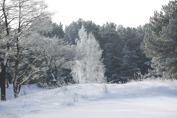 Pine, birch and alder covered with snow and hoarfrost