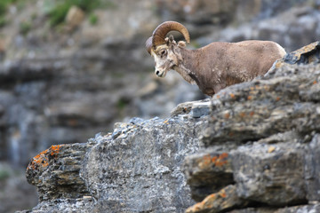 A bighorn sheep peering over a rock ledge near the Going to the Sun Road in Glacier National Park, Montana.