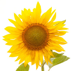beautiful bright yellow sunflower flower