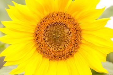 beautiful bright yellow sunflower flower