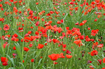 a flower meadow of red poppies