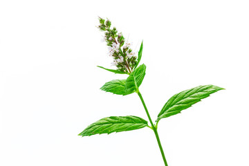 Fresh mint leaves with flowers close up, isolated on white.