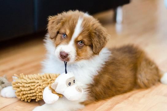 Cute puppy of australian shepherd holding a toy