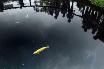 忍野八海の鯉
