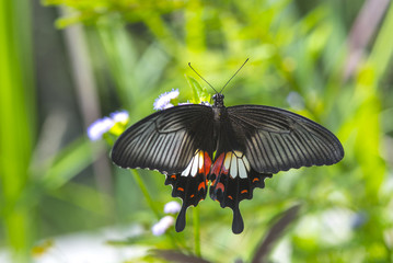 The Common Mormon  beautiful butterfly
