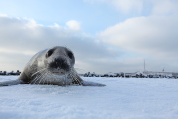 Gray Seal (Halichoerus grypus) playful and curious  in winter, Helgoland