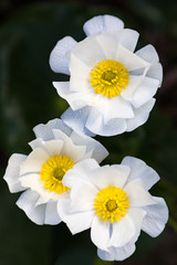 Mount Cook buttercup, or lily (Ranunculus lyallii) grows in alpine areas of New Zealand