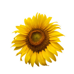 Helianthus annuus on whrite background