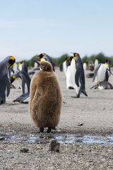 A Stout Juvenile King Penguin or Oakum Boy with its brown downy feathers. Adult king penguins are in the background.