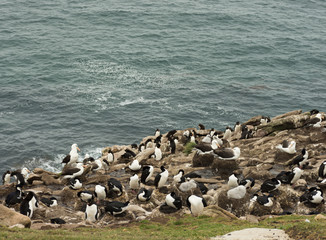 Cormorants, Albatross and Penguins on a Cliff Overlooking the Atlantic Ocean in the Falkland Islands.