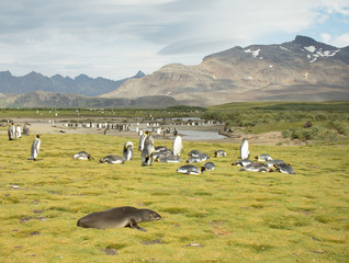 Fur Seal and King Penguins on a grassy meadow with Rugged Mountains in the background.