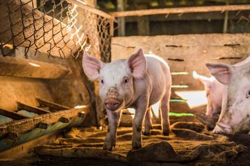 Livestock of traditional pig breeding farm
