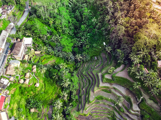 fresh ,bright green rice fields, view from above
