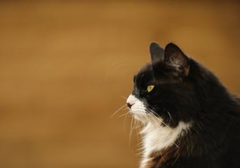 Black and white tuxedo cat outdoor portrait