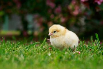the little chicken
