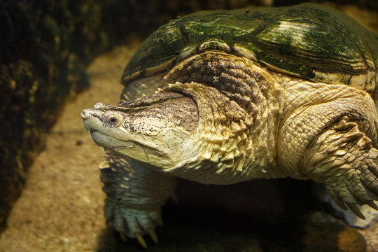 Common snapping turtle (Chelydra serpentina) in the oceanarium.