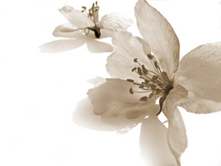 Single apple tree flower in retro style. Beautiful spring blossom close-up in sepia color.