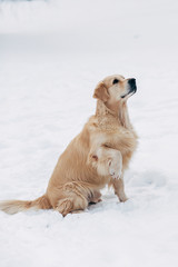 Photo of sitting labrador on winter walk