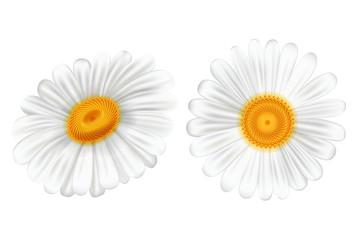 Set white camomile on white background, vector illustration.