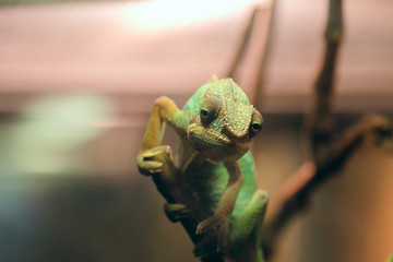 Portrait of green chameleon seated on a wooden branch in terrarium. Face of lizard with soft bokeh in a dark environment. Selective focus