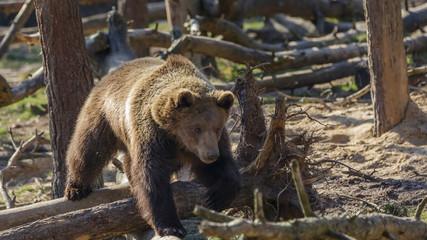 Brown Bear in woods