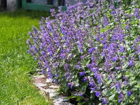 Nepeta faassenii (catmint, Faassen's catnip) in full bloom