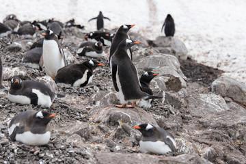 Gentoo penguin's colony