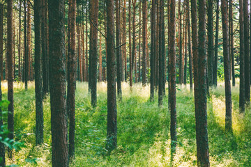 Beautiful forest landscape, thin trunks of pine trees, bright juicy green background and texture