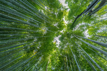 Early morning sky view through bamboo stalks at Beautiful Sagano Arashiyama Bamboo forest in Kyoto, Japan