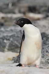 Adelie penguin on snow