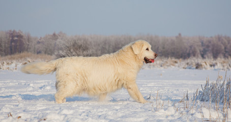 Golden Retriever female at 13 years of age on a cold winter day
