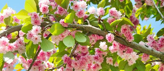 Sakura flower on nature background. Wide photo