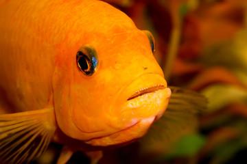 Aquarium fish close-up. cichlid predator with teeth in mouth
