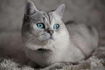 Cat Scottish Fold, chinchilla coloring