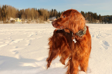 red irish setter walking