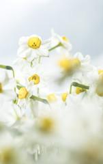 Photo sur Aluminium Chinese Narsissus in New Year