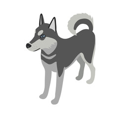 Husky dog isometric isolated