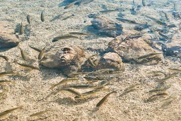 Lots of European chub fish in transparent water of a mountain lake Bohinj, Slovenia