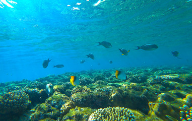 Poster Sous-marin coral reef and butterfly fish