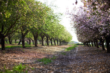 Spring garden of the blossoming almonds. Latrun, Israel