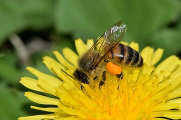 Bee pollinating a yellow dandelion flower during the warm Springtime weather. Note the full pollen sacs on the bee's legs.