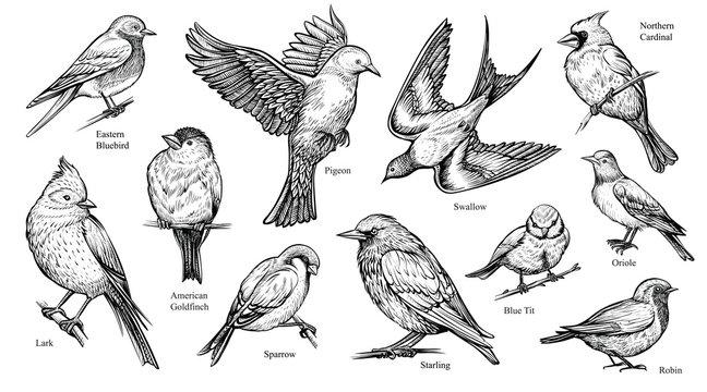 Birds hand drawn vector illustration.