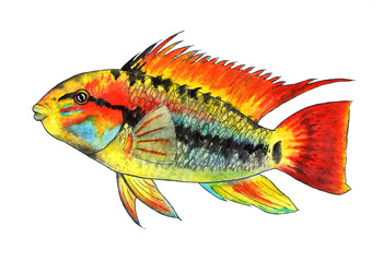 Apistogramma macmasteri. Tropical fish. Watercolor illustration. Dwarf cichid, cichlidae.