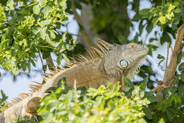 Wild Green Iguana Perched in a Tree in Mexico